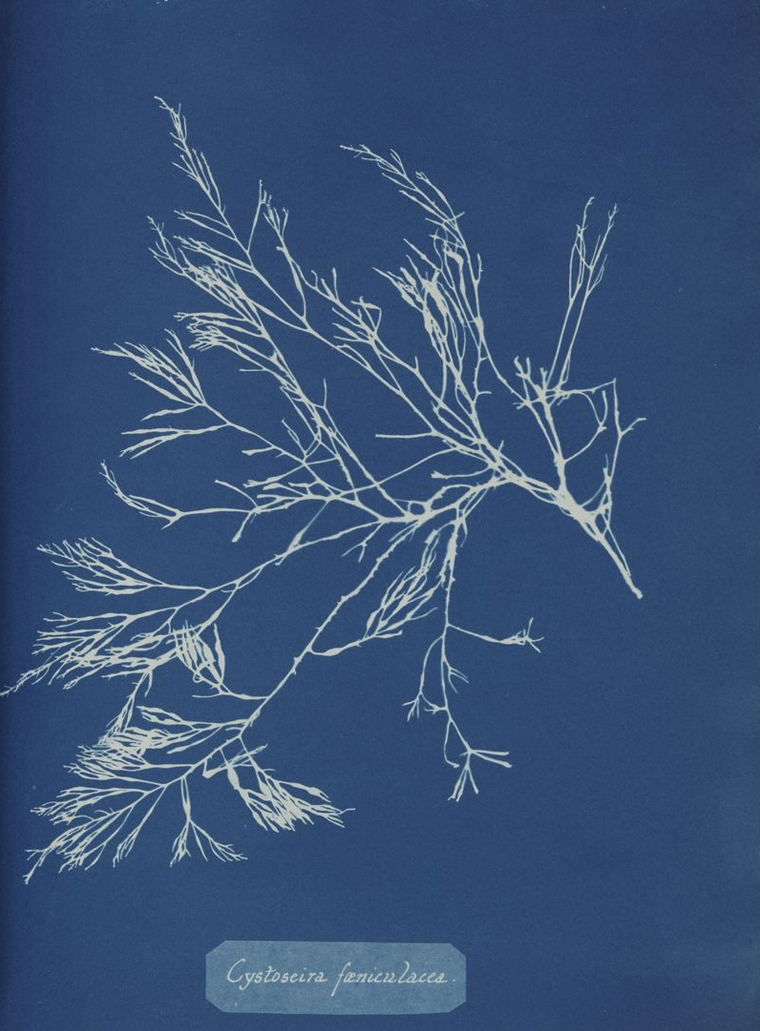 Anna Atkins Cyanotype prints