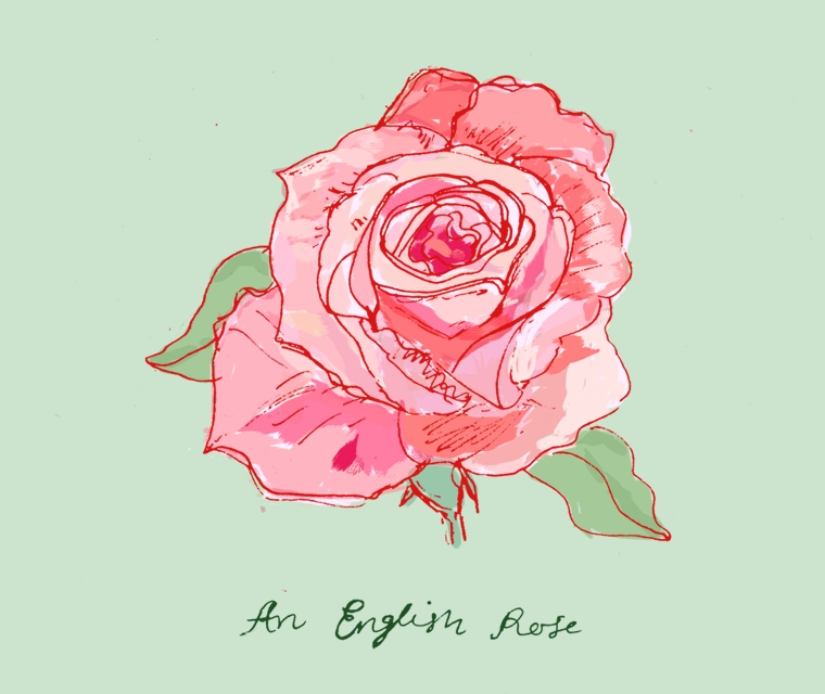 British Flowers Week June 2016 and Pickle Design have illustrated by hand an English Rose