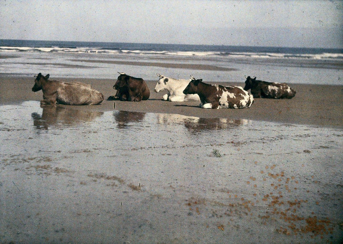 Cow on the beach in this early colour photograph