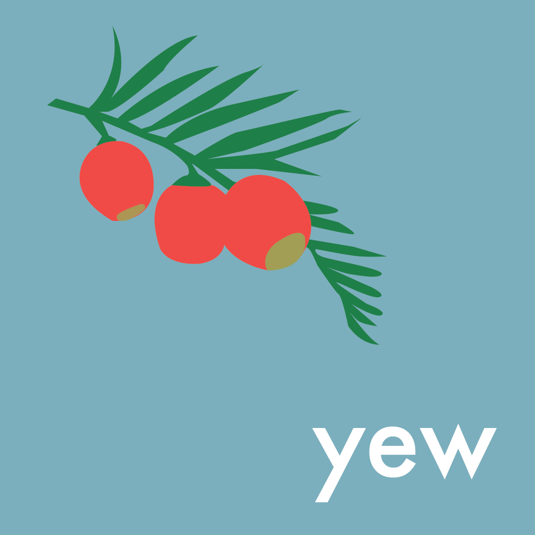 The Yew tree botanical illustration by Pickle Design