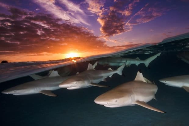 UPY 2018 Wide Angle - Commended 'Blacktip Rendezvous' - Renee Capozzola