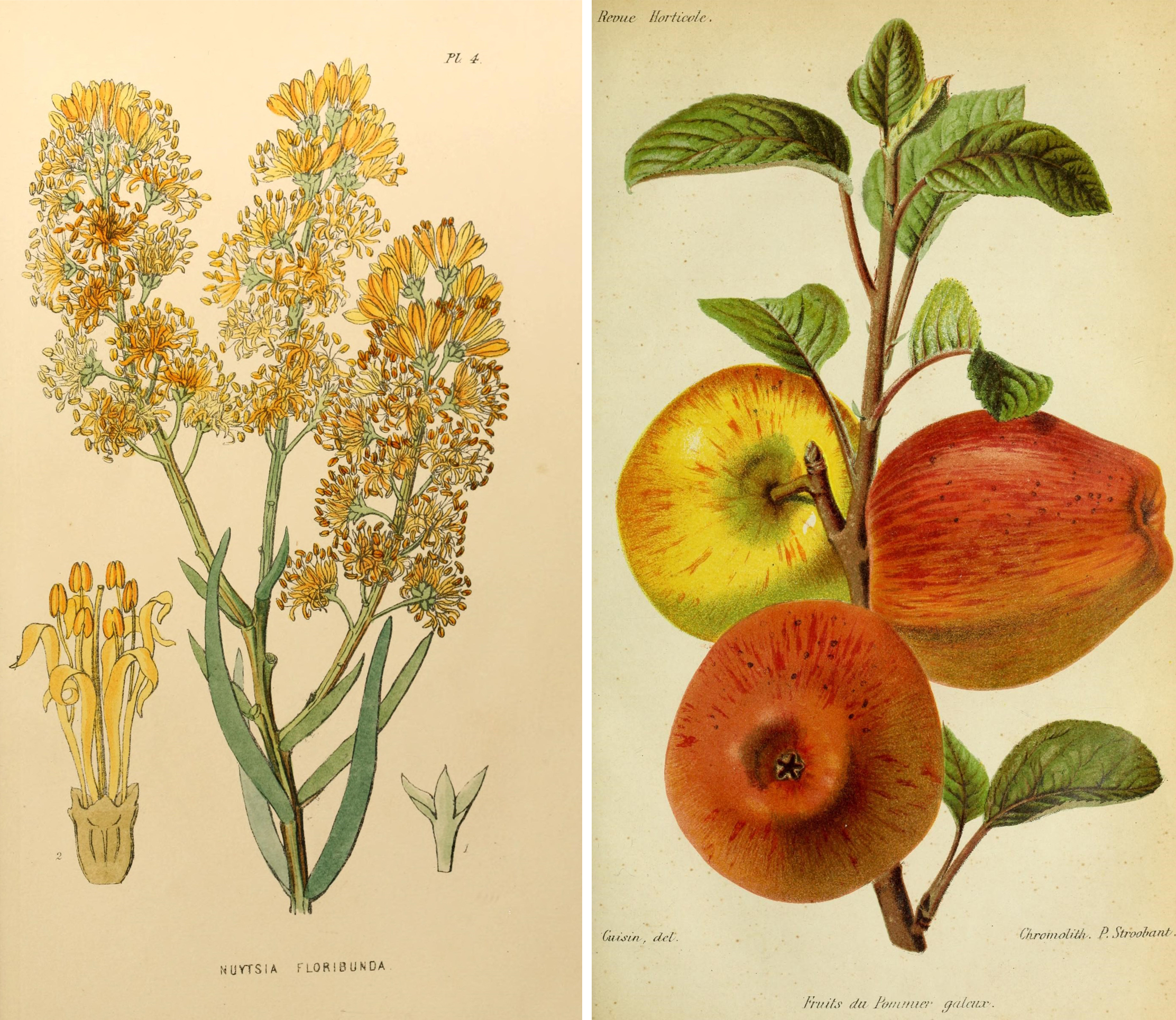 Botanical drawings from a great collection including fruit, flowers and birds
